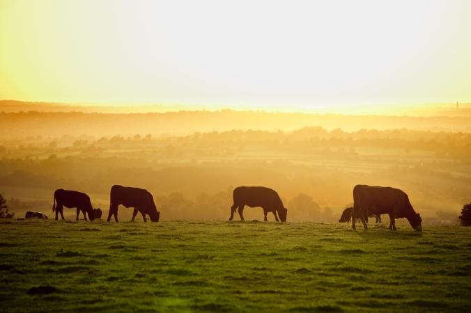 grazingcows